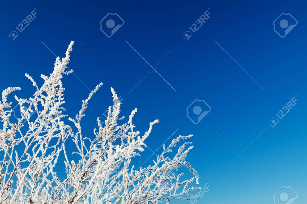 plant covered with snow against blue sky. grass on hoar frost - 71440854