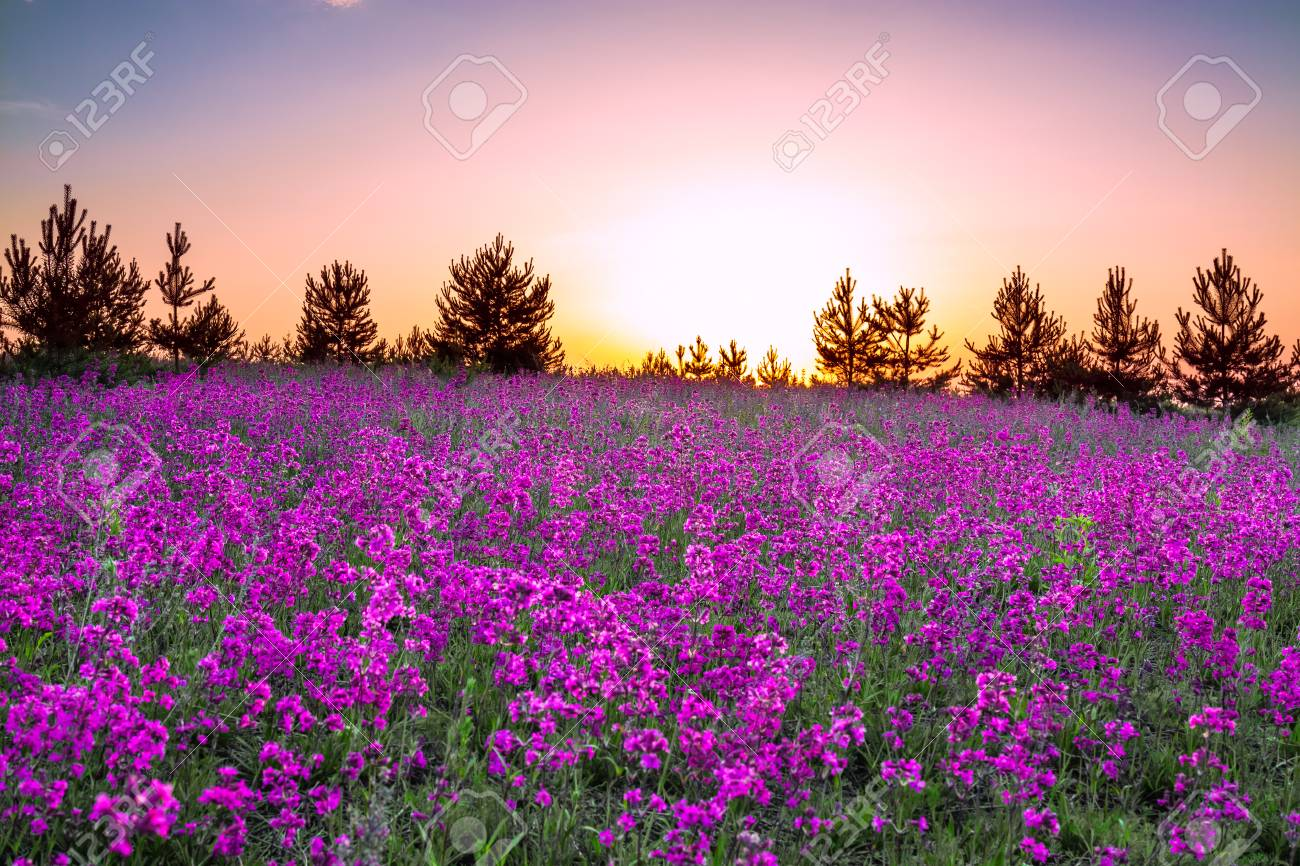 Summer Rural Landscape With Purple Flowers On A Meadow And Sunset Stock Photo Picture And Royalty Free Image Image 75226189