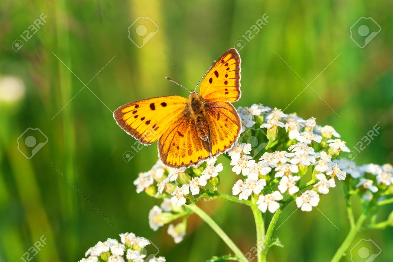 Beautiful Orange Butterfly Sits On A Whites Flowers On Spring
