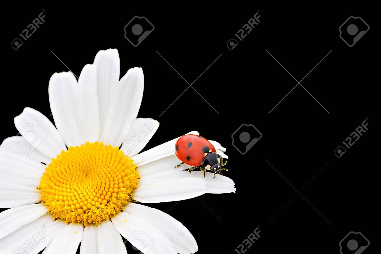 Marienkäfer Sitzt Auf Einer Kamille Blume Eine Nahaufnahme Makro