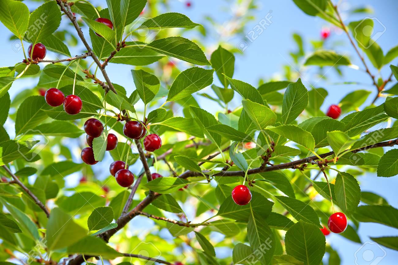 Berühmt Ernte Von Reifen Kirsche Auf Einem Baum Im Obstgarten. Rote Beeren @UL_28