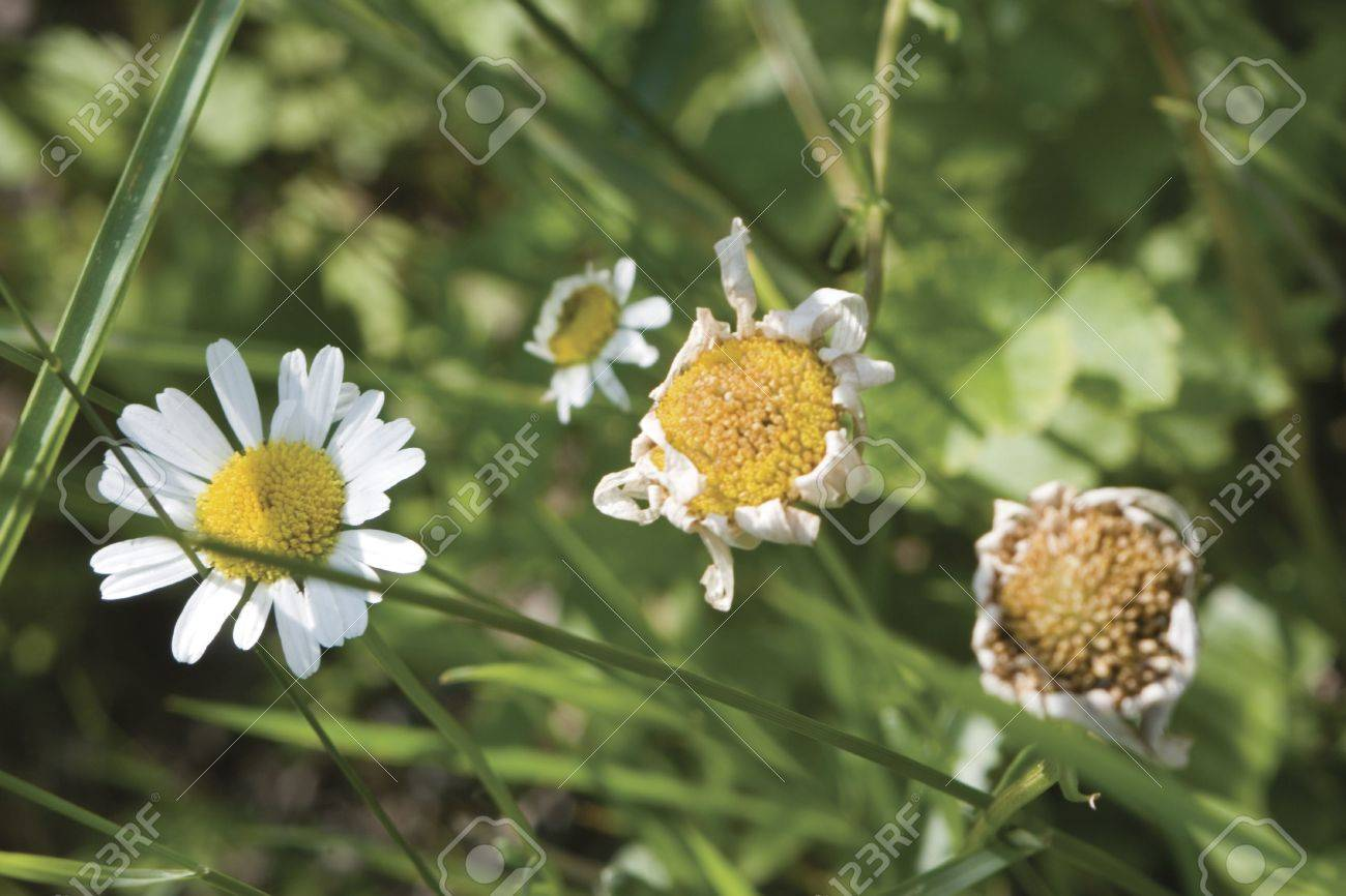 The Life Cycle Of A Daisy Flower In A Field Of Grass Stock Photo