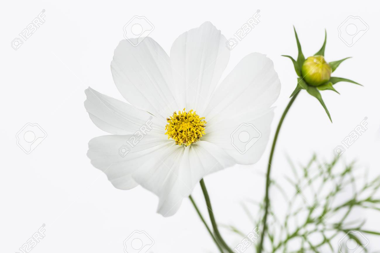 Cosmo Flower Against A White Background Stock Photo Picture And