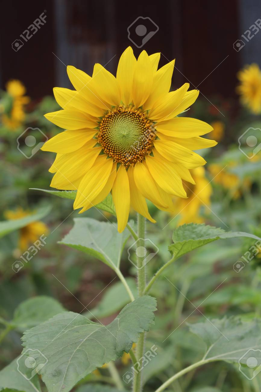 A Flower Is Yellow It Is Beautiful Someone Like To Grow The
