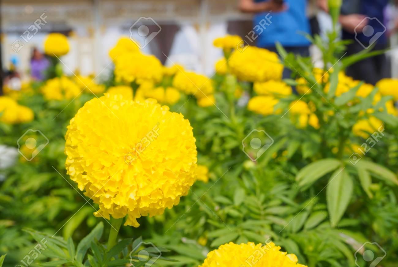 Marigold Ro Yellow Flower Garden Green Leaf White Background Stock