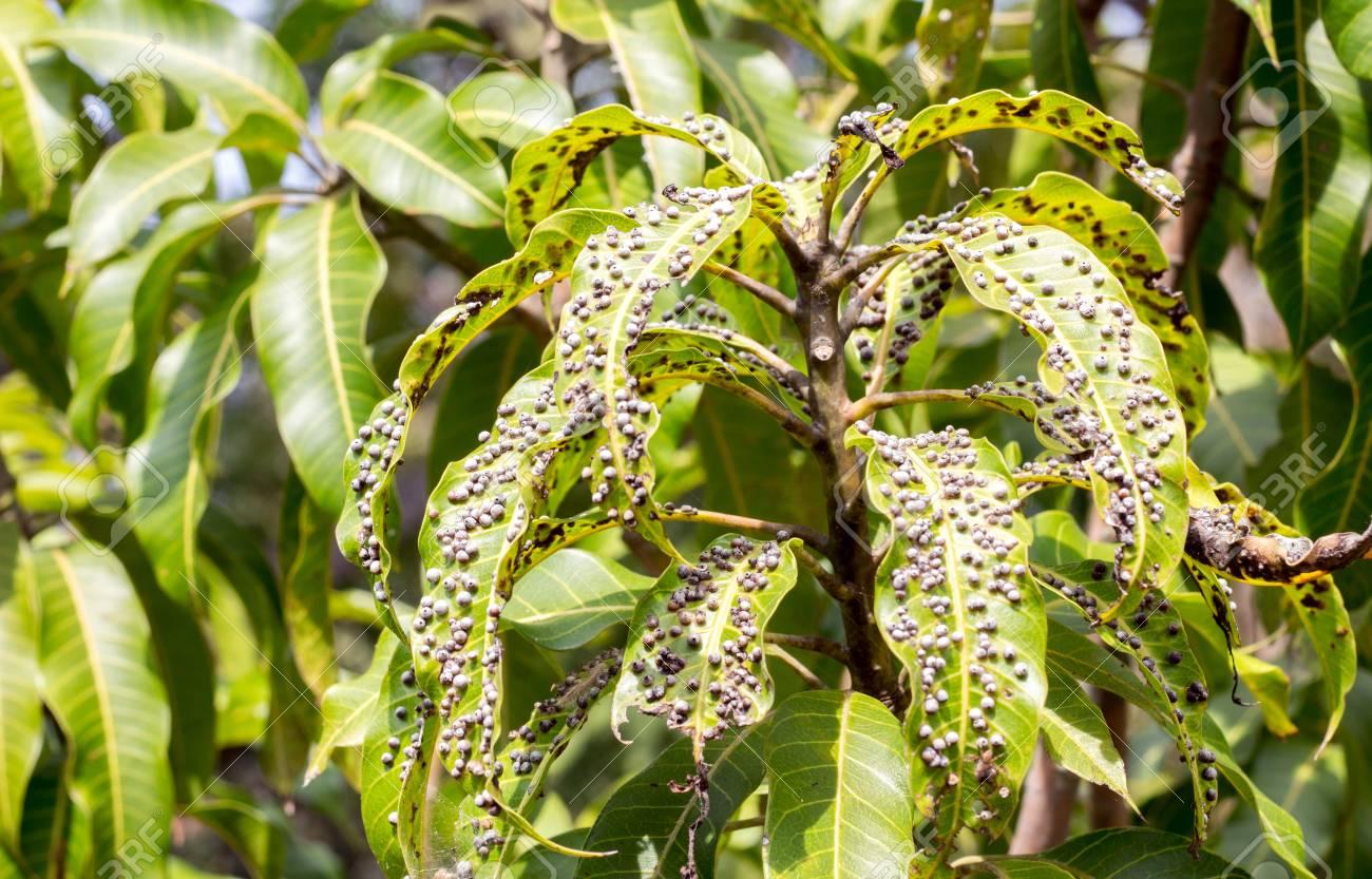 Cerrar Hoja De Mango Verde Enfermo De Error O Virus En El Jardín ...