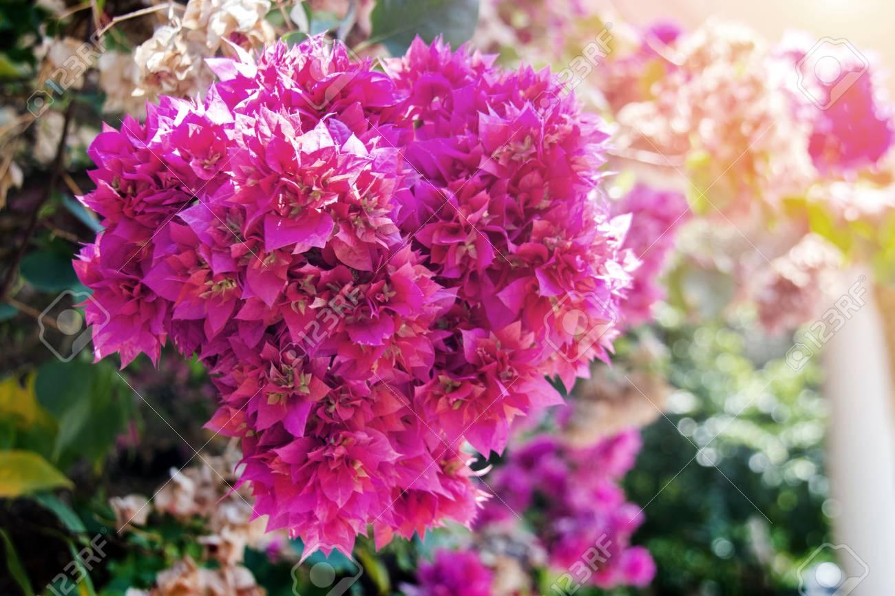 Close Up Pink Flower Bush In Love Season In Garden Stock Photo