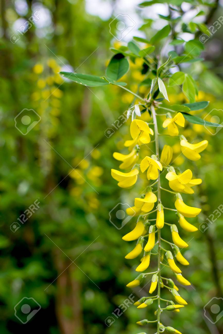 Golden Shower Tree Beautiful Yellow Flower Name Is Cassia Fistula