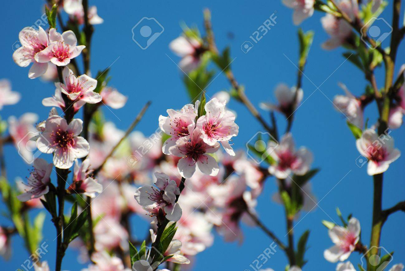 Fruit Tree Flowers Part - 33: Fruit Tree In Spring, I Cram Of Flowers That They Would Be Fruit In Summer