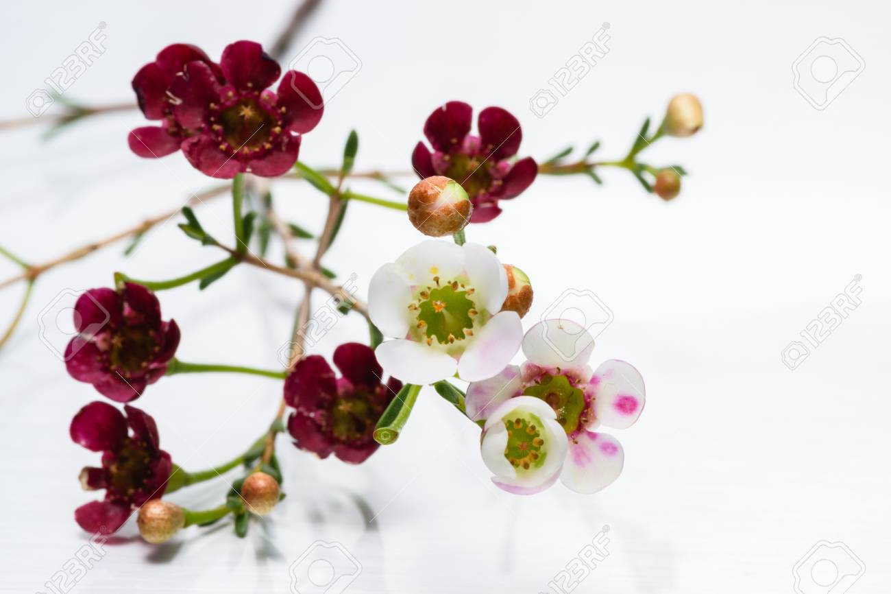 Small White And Maroon Flowers Stock Photo, Picture And Royalty Free ...