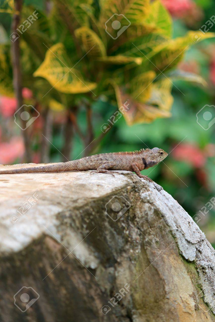 calotes versicolor known as changeable lizard or oriental garden lizard on rock against colorful tropical leaves - Oriental Garden