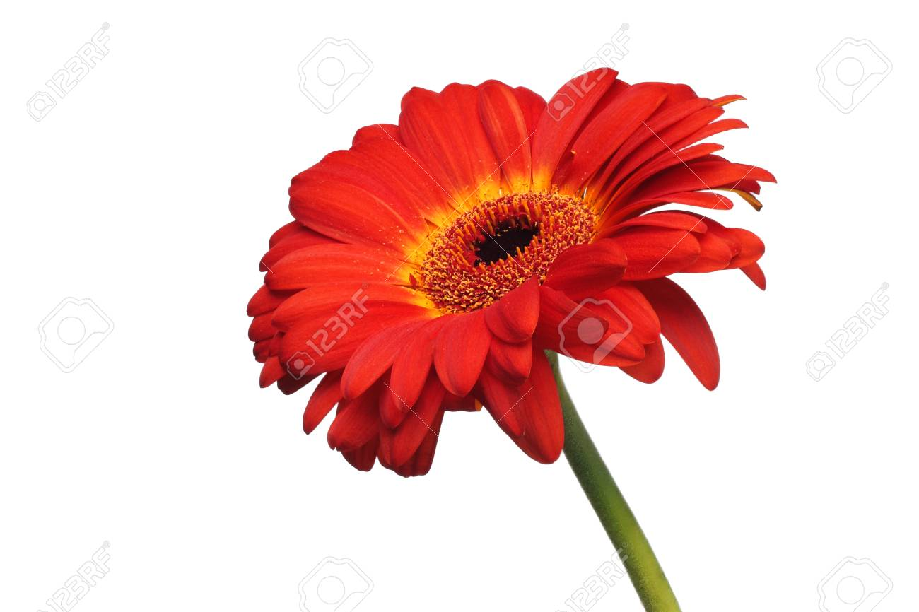 Red Gerbera Daisy Flower Isolated On A White Background Stock Photo