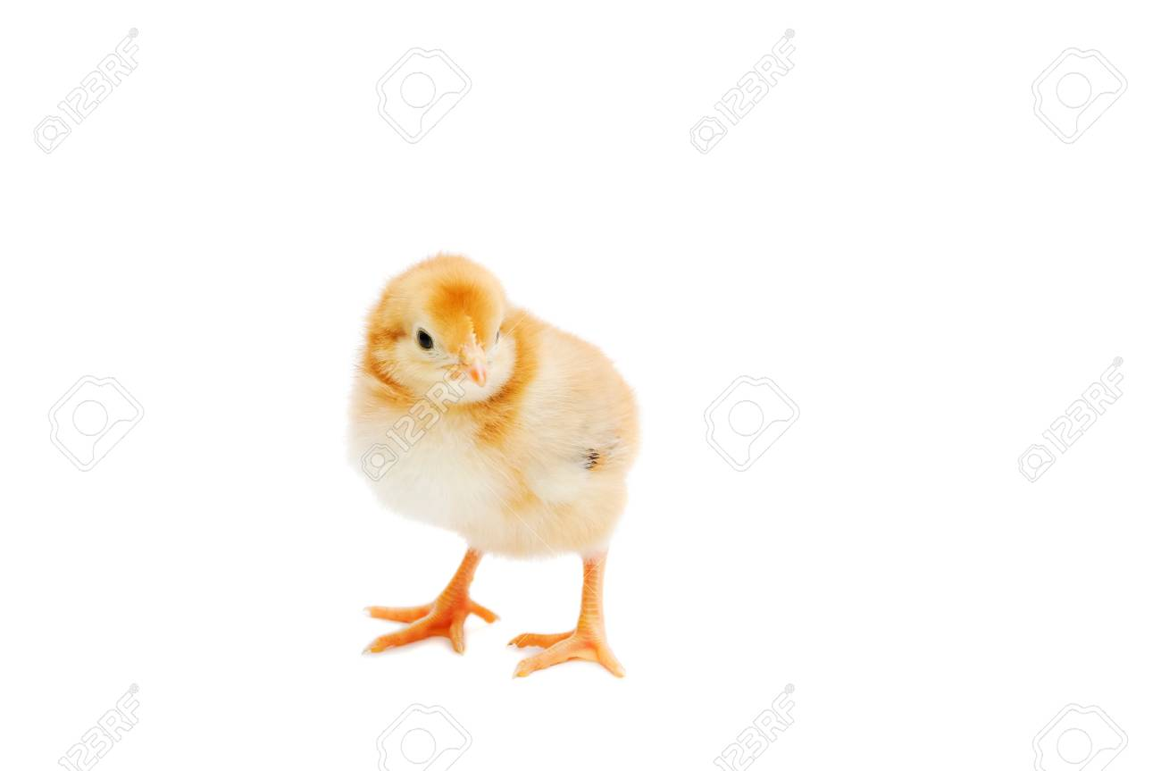 single yellow little chicken look at the camera isolated on stock