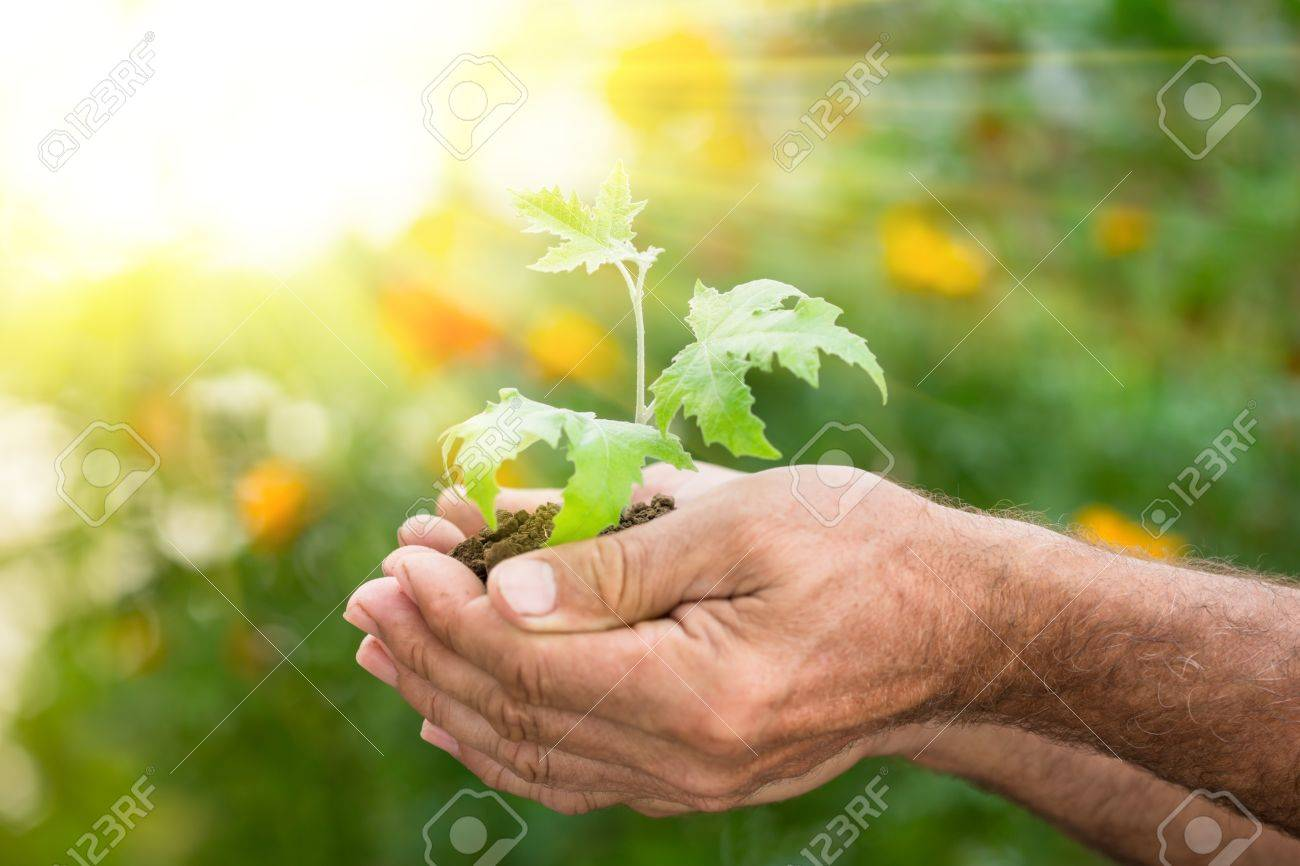 Old man hands holding young maple tree against spring green background. Ecology concept - 17546645