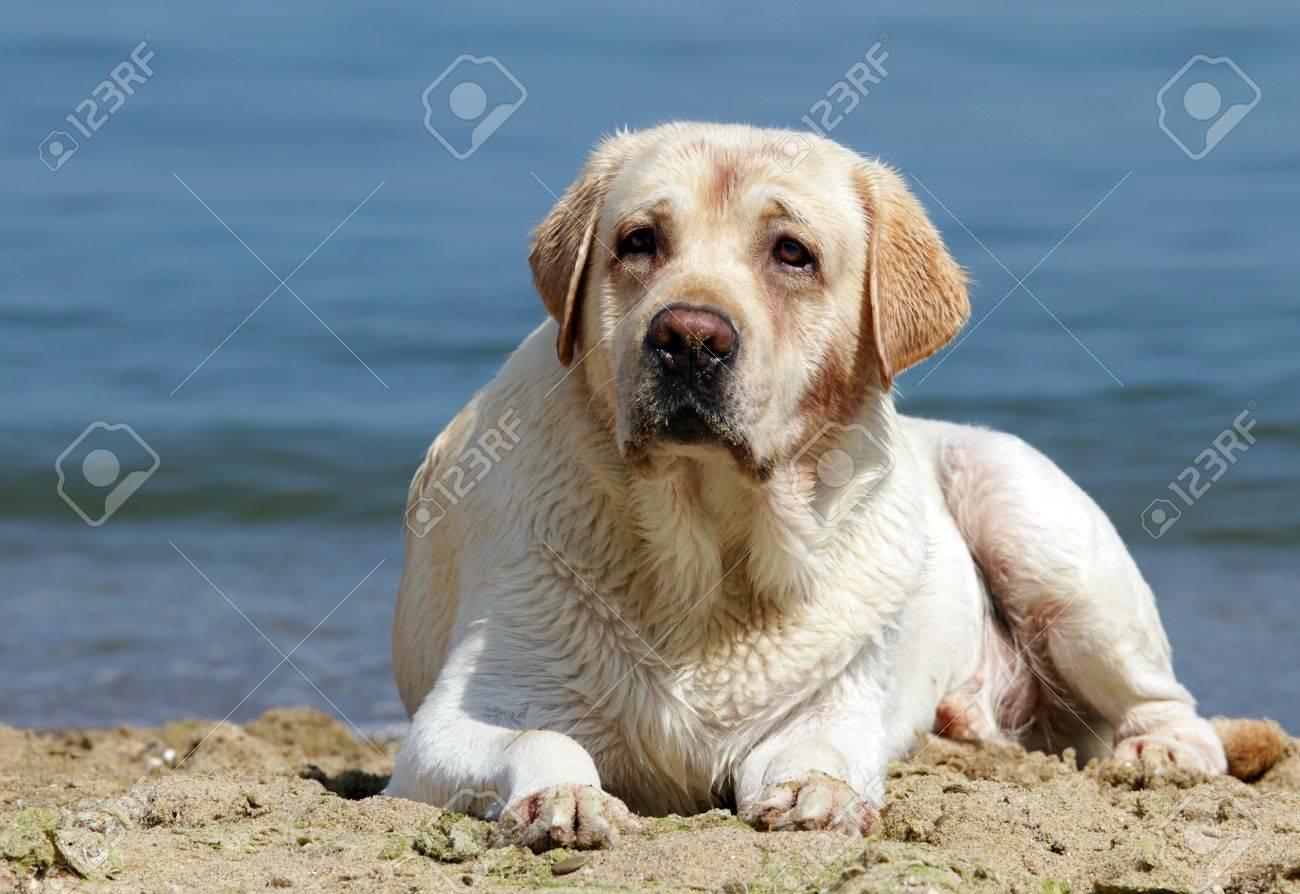 yellow labrador laying at the beach at the sea Stock Photo - 12031112
