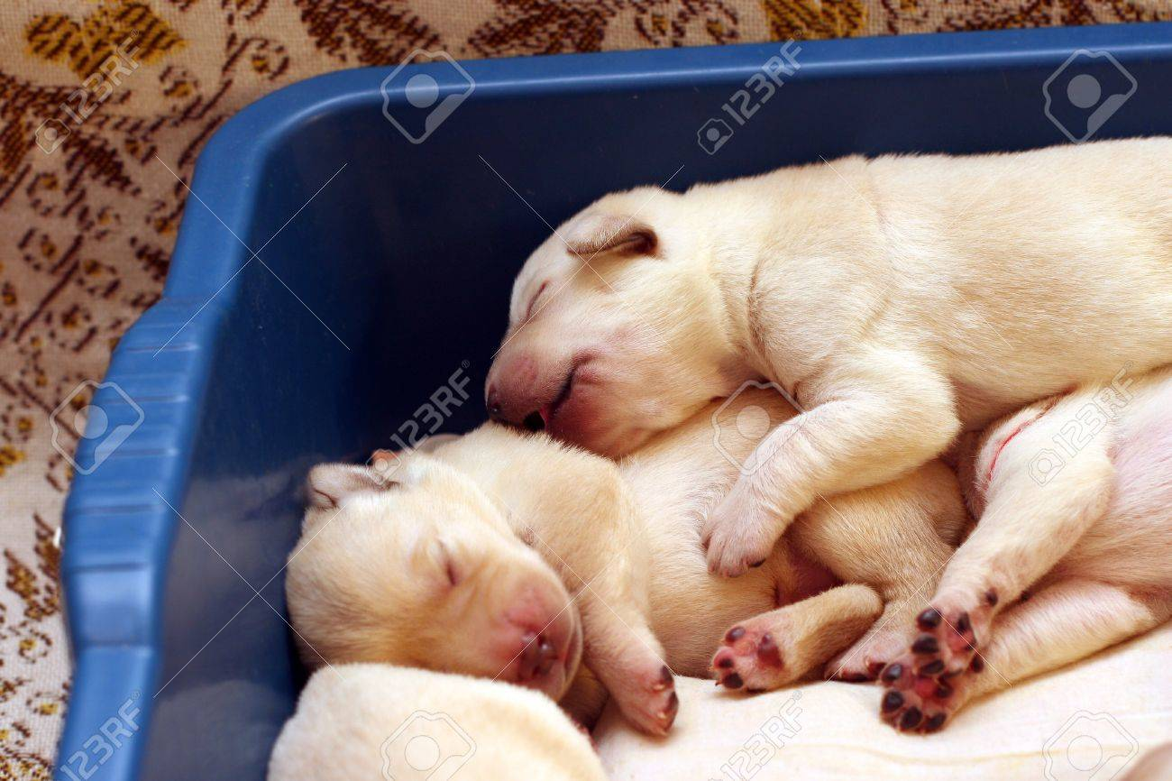Yellow Labrador Puppies Newborn In The Blue Box Stock Photo Picture And Royalty Free Image Image 12724911