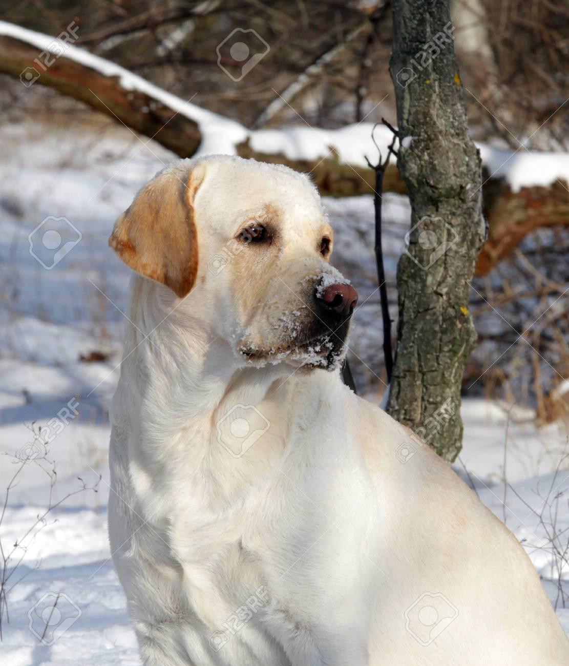 yellow labrador in winter in the park portrait Stock Photo - 17208136