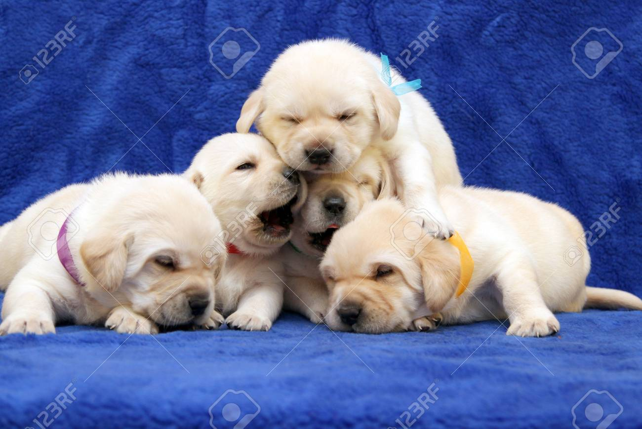 Five Yellow Labrador Puppies On Blue Background Stock Photo Picture And Royalty Free Image Image 17803138