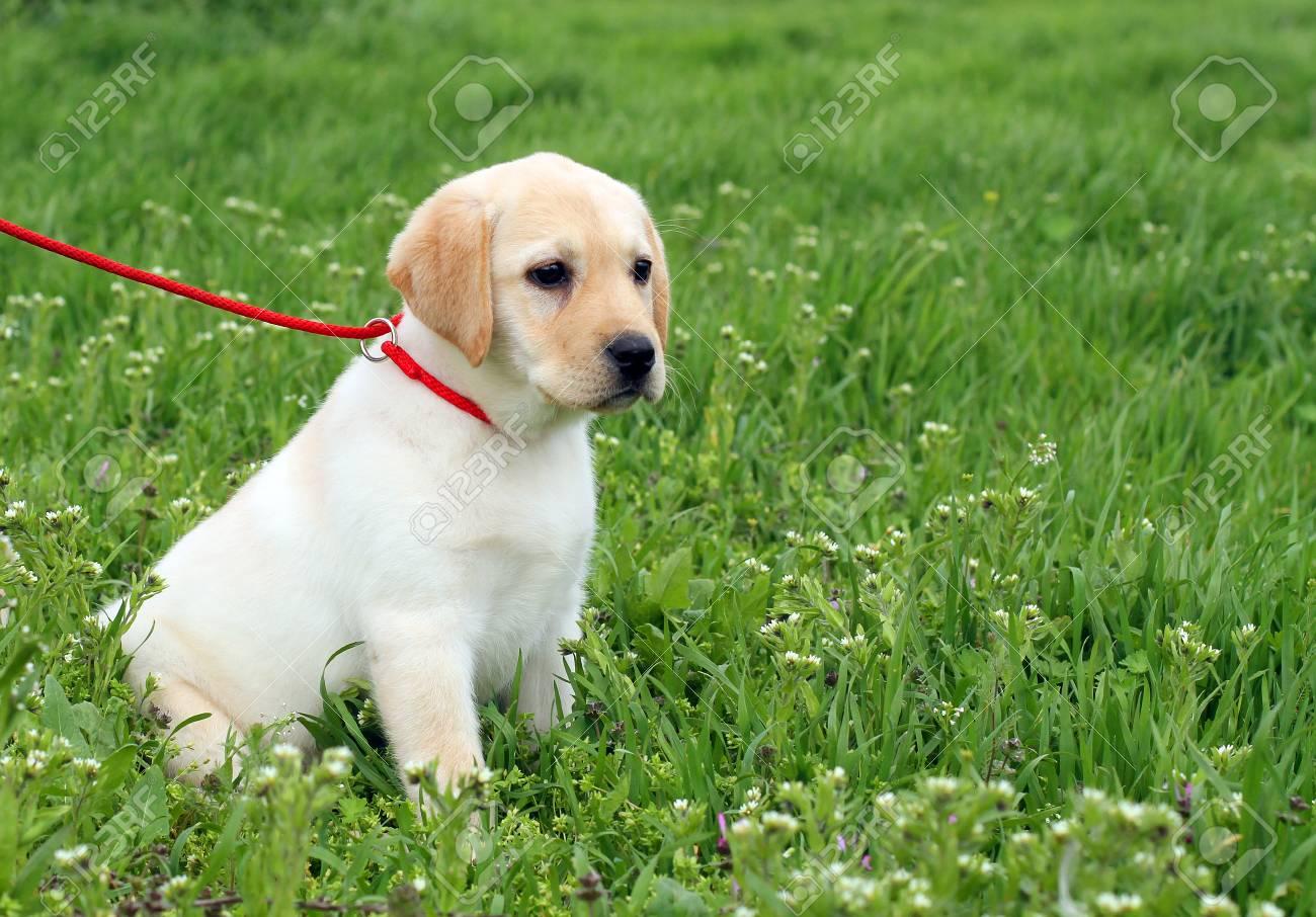 Schone Gelbe Labrador Welpen Im Grunen Gras Im Fruhjahr Lizenzfreie Fotos Bilder Und Stock Fotografie Image 41327936