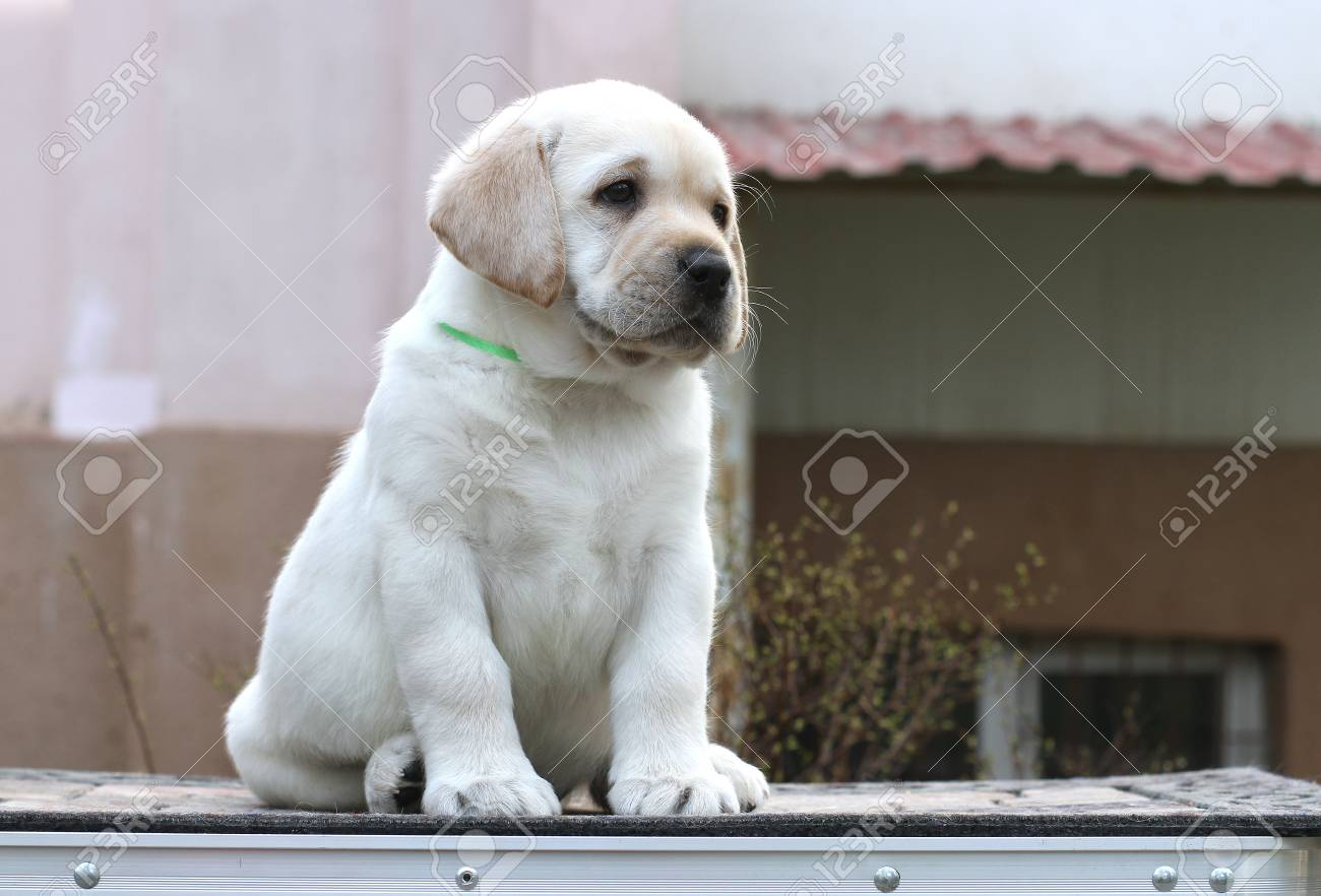 The Little Yellow Labrador Puppy Sitting On Grey Background Stock Photo Picture And Royalty Free Image Image 81111251