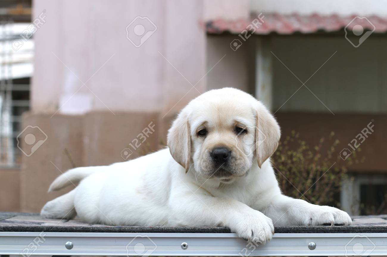Little Yellow Labrador Puppy Sitting On Grey Background Stock Photo Picture And Royalty Free Image Image 81424197