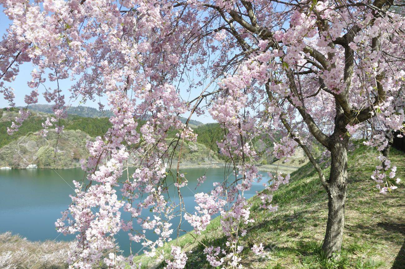 Weeping Cherry Tree Bloom On A Lake Stock Photo Picture And