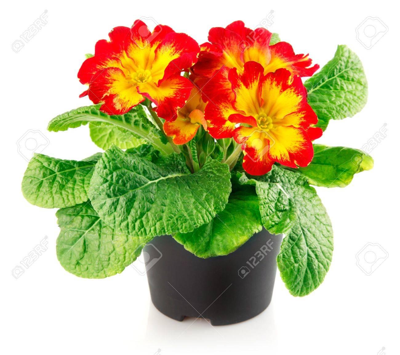 Цветок в горшке название фото