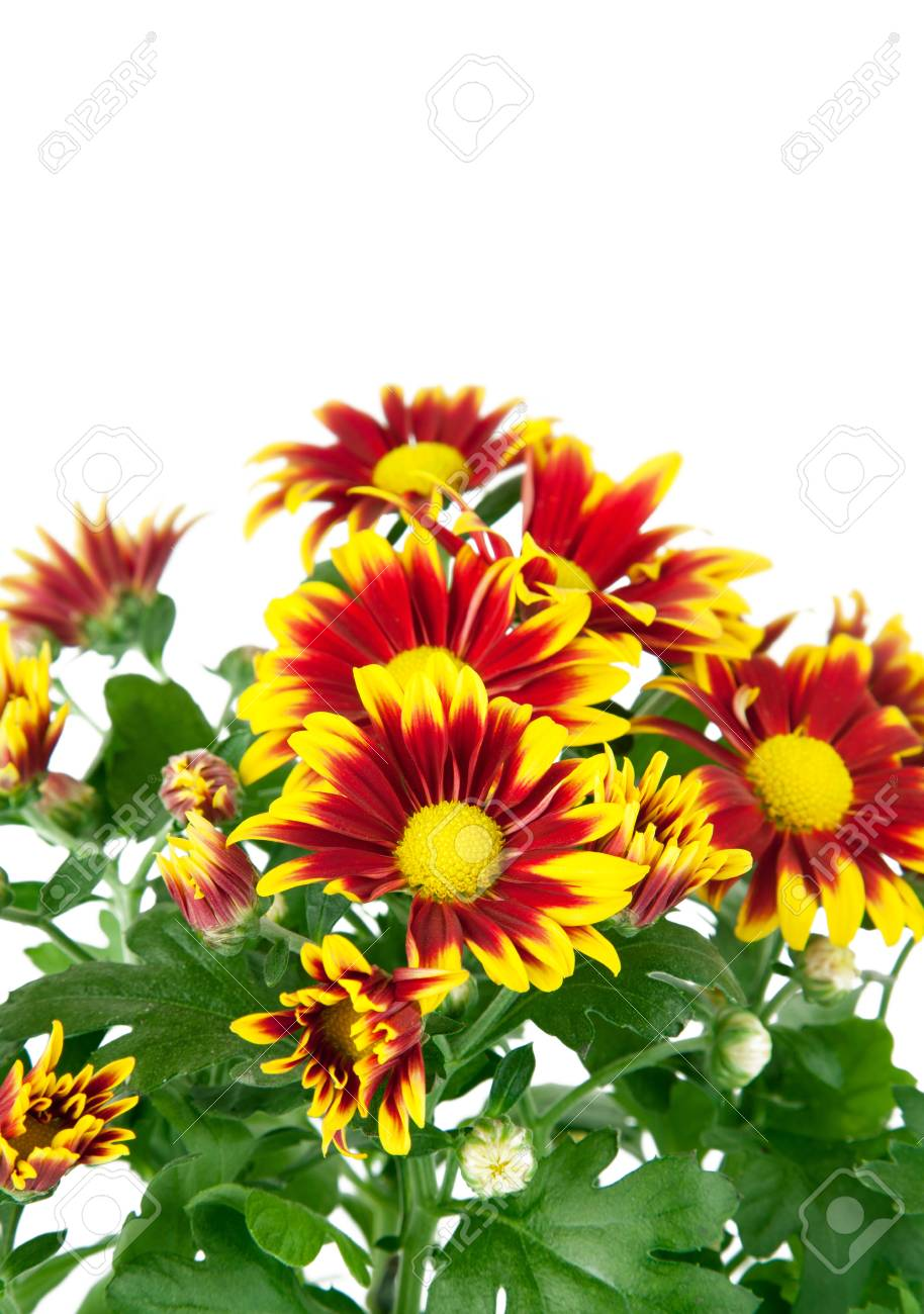 chrysanthemum flowers with green leaves isolated on white background Stock Photo - 9251306