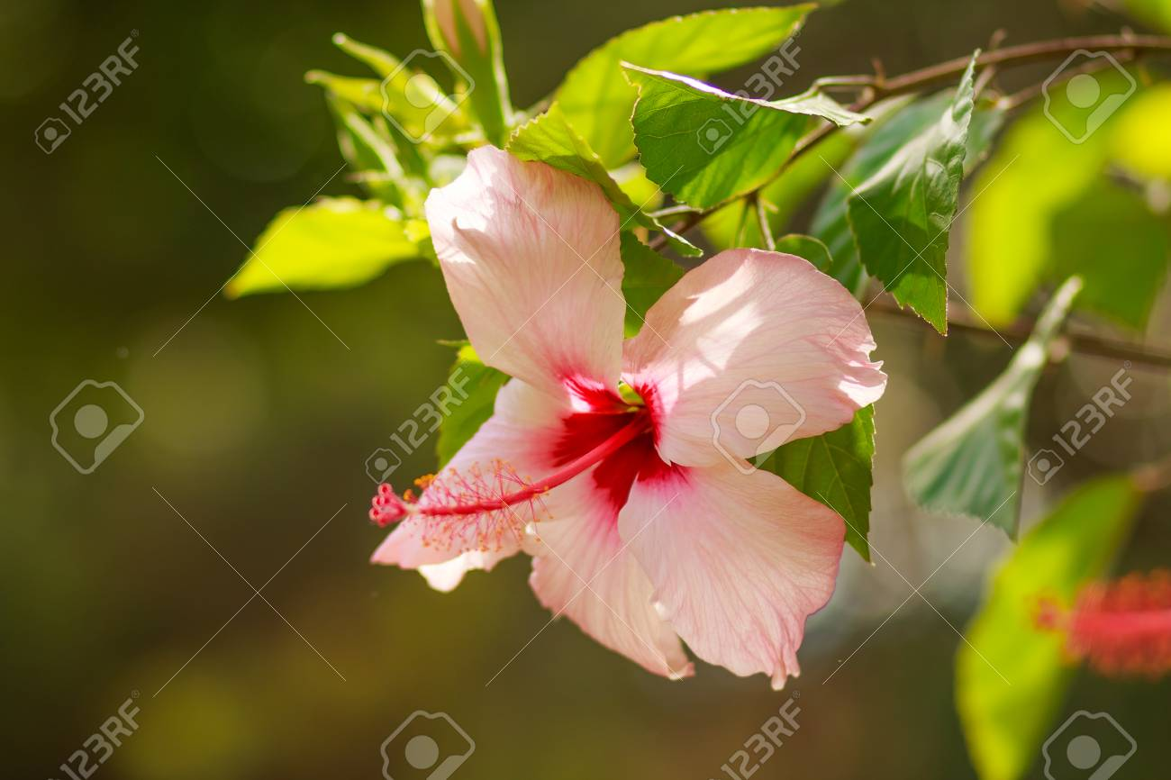 Beautiful Pink Hibiscus Flower In Full Bloom On Blurred Sunny