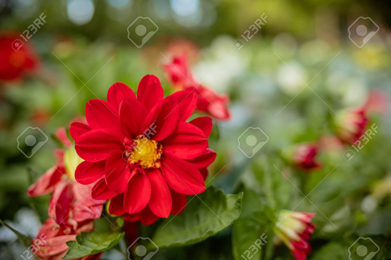 Beautiful Dahlia Flower In The Garden Dahlias Pomponous Red