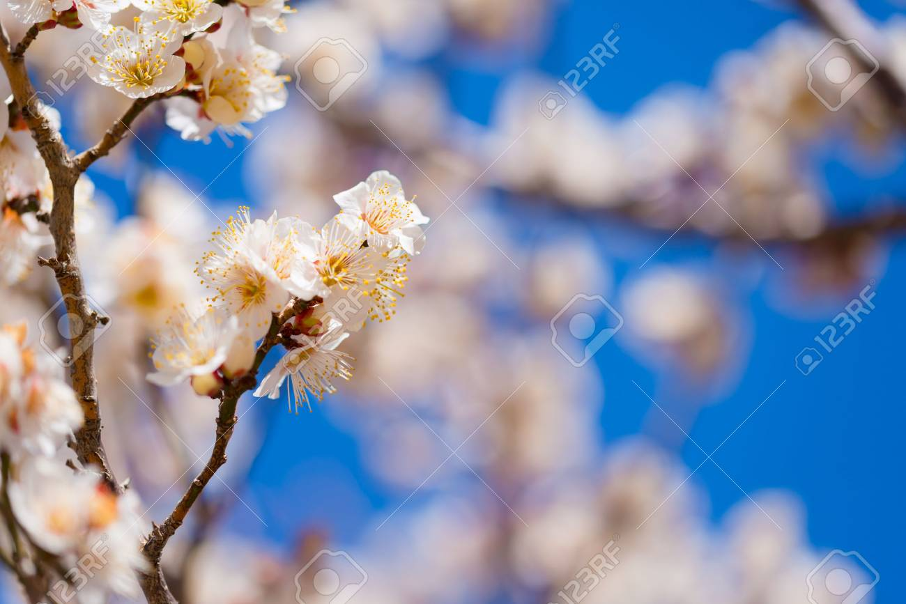 Japanese White Plum Flowers In Tachikawa Tokyo Japan Stock Photo