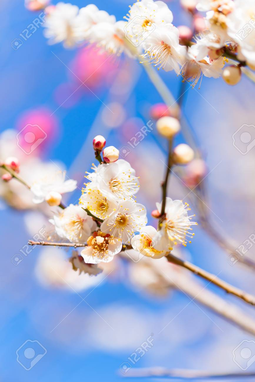 Japanese White Plum Flowers In Tachikawa Tokyo Japan Stock Photo