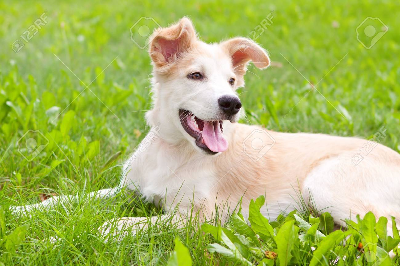 golden retriever puppy on grass on the meadow Stock Photo - 14519997