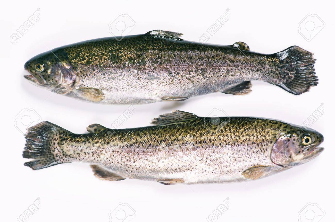 two trouts on a white background Stock Photo - 11798525