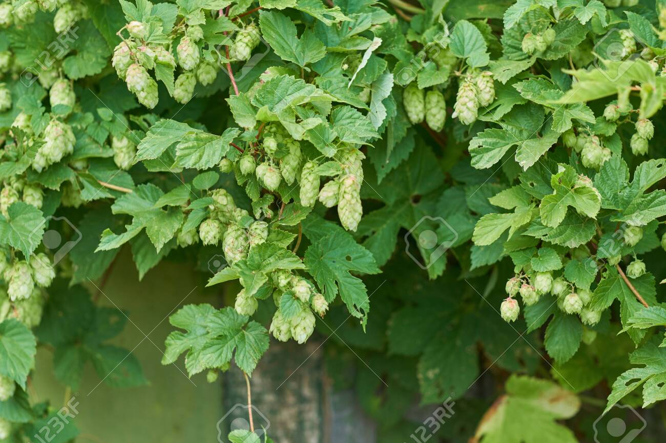 detail of hop cones in the hop field - 137481484