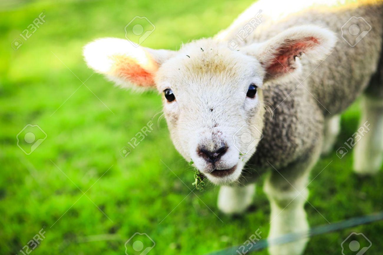 mary had a little lamb - 11842315