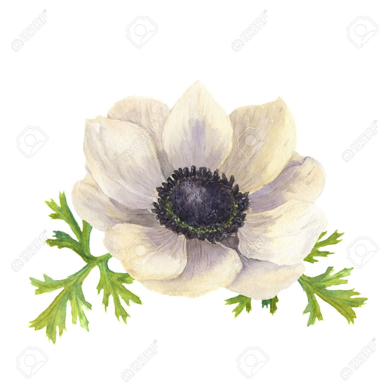 Watercolor Anemone Flower With Leaveshand Drawn Floral Illustration