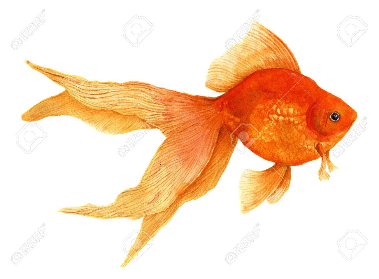 Pez De Colores. Ejemplo De La Acuarela Realista Artística. Pescado ...