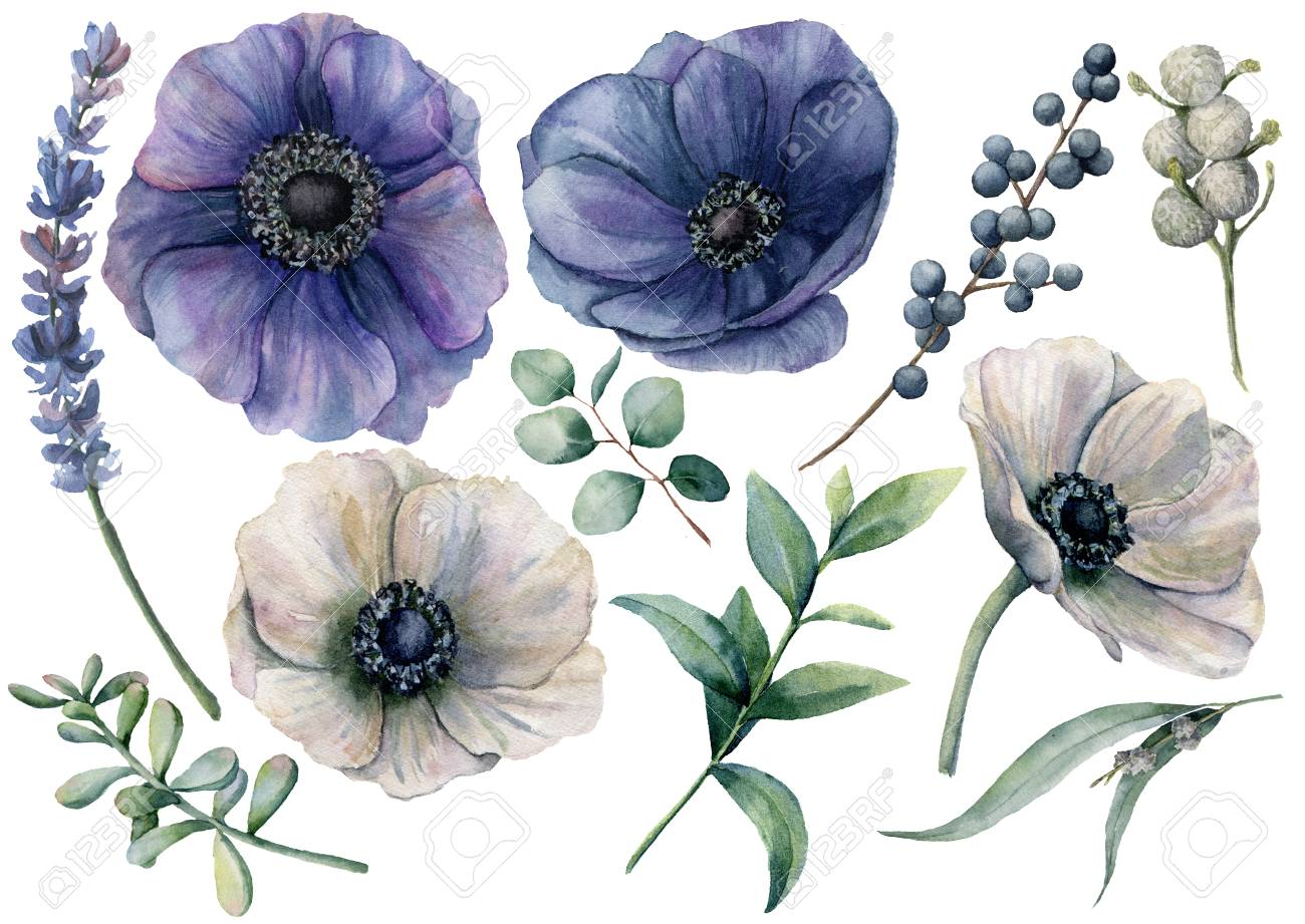 Watercolor white and blue floral set. Hand painted blue and white anemone, brunia berry, eucalyptus leaves, lavender, succulent isolated on white background. Illustration for design, print or fabric. - 103371572