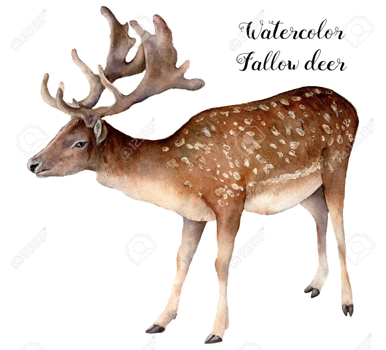 Watercolor fallow deer. Hand painted wild animal isolated on white background. Realistic male fallow for design, print or background. - 107536283