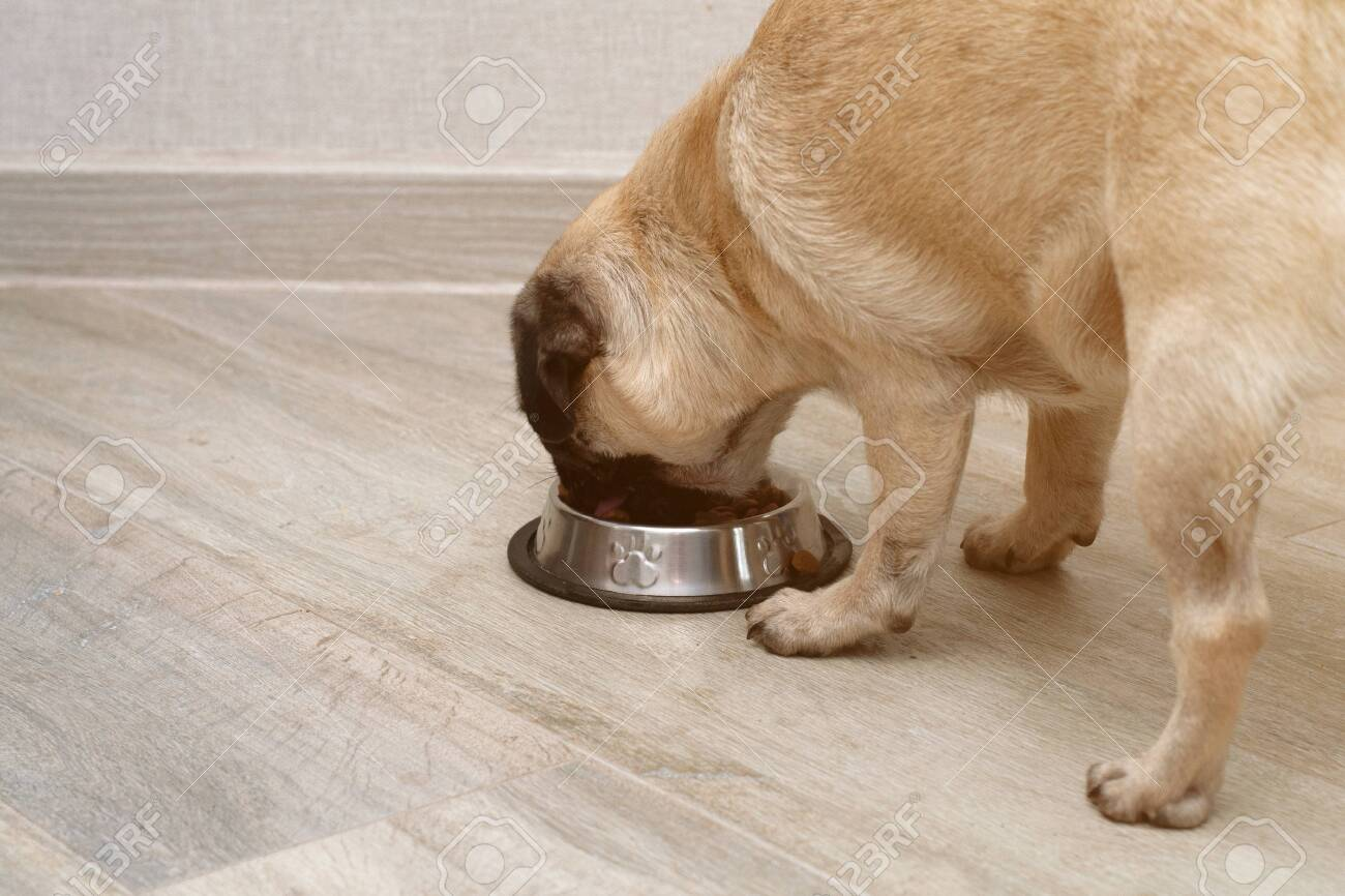 hungry pug dog eating dry feed from his bowl. balanced pet diet - 156607564