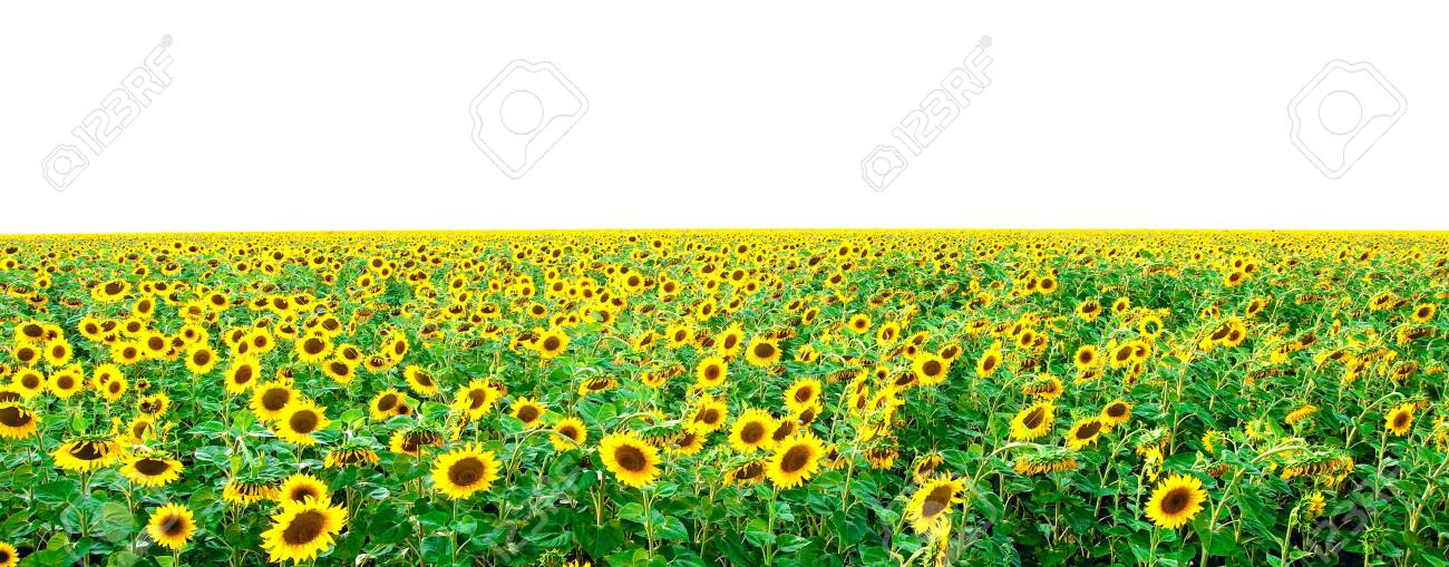 Field from bright young sunflowers and a white background Stock Photo - 6246390