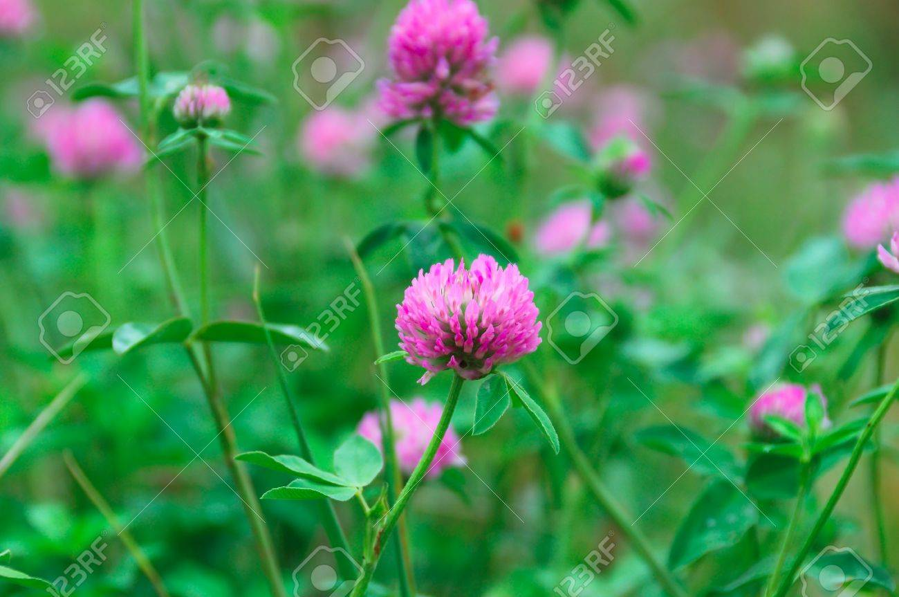 Pink flowers with green clover leaves stock photo picture and pink flowers with green clover leaves stock photo 7897930 mightylinksfo