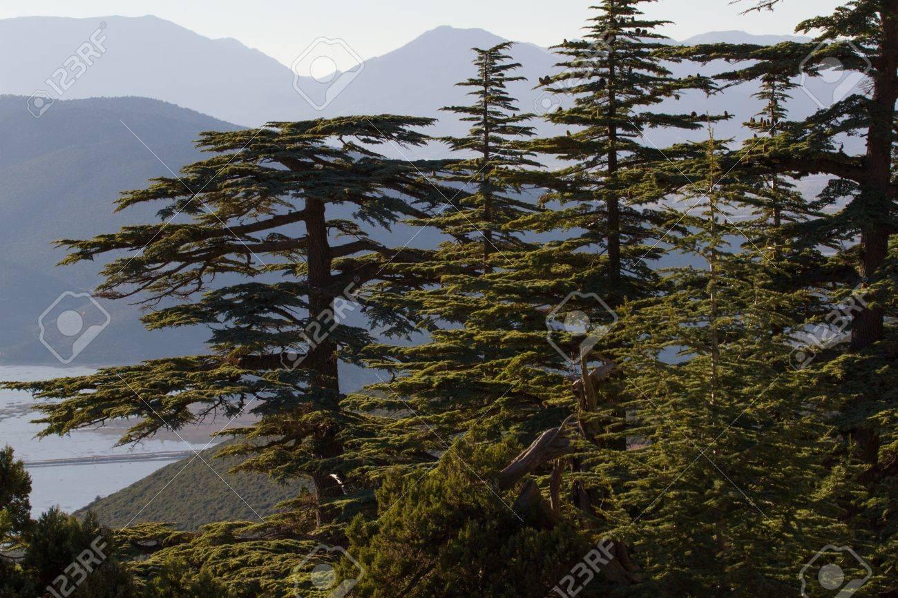 Piña Cedro Del Líbano En El Bosque En Las Montañas, Turquía Fotos ...