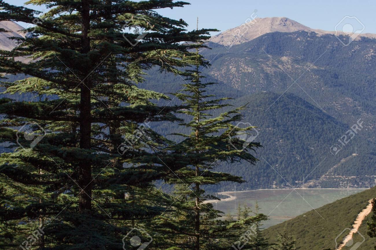Piña De Cedro Del Líbano En El Bosque, Turquía Fotos, Retratos ...