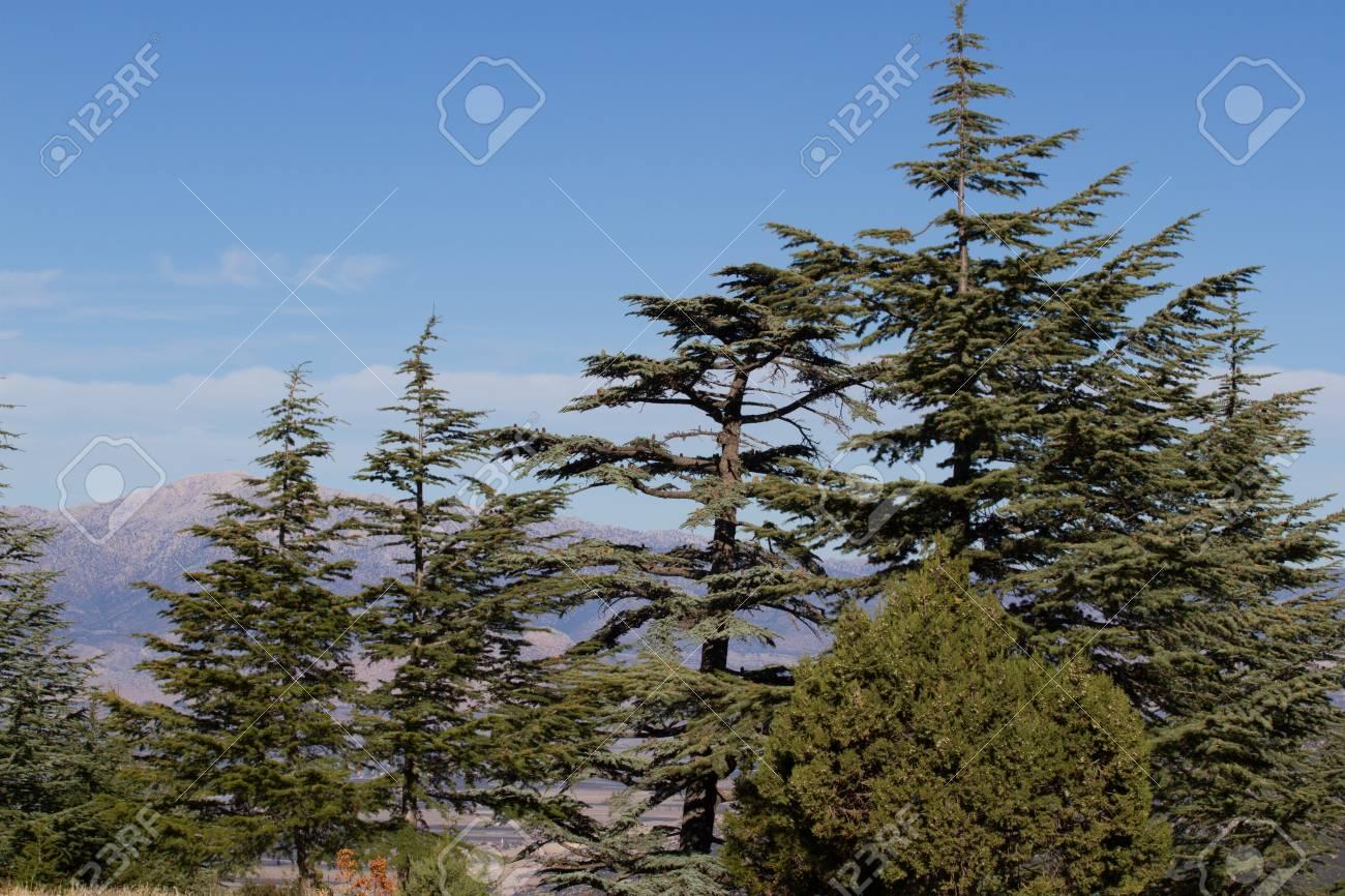 フォレスト内の山、トルコでレバノン杉松ぼっくり