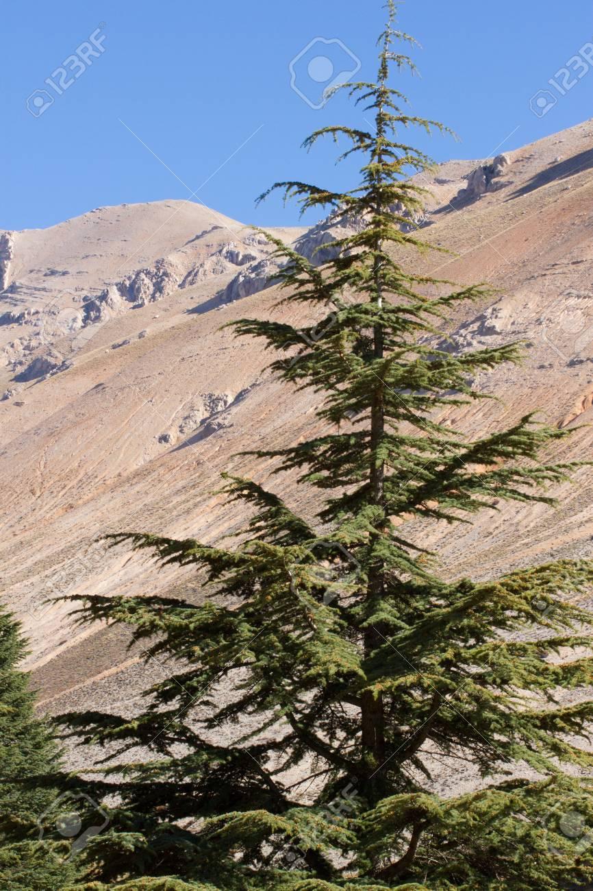 Cedro Libanés Del Bosque En Las Montañas, Turquía Fotos, Retratos ...