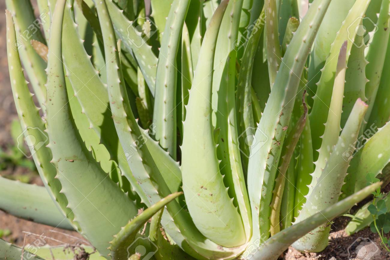 Image Plante Aloe Vera leaves of medicinal green aloe vera plant
