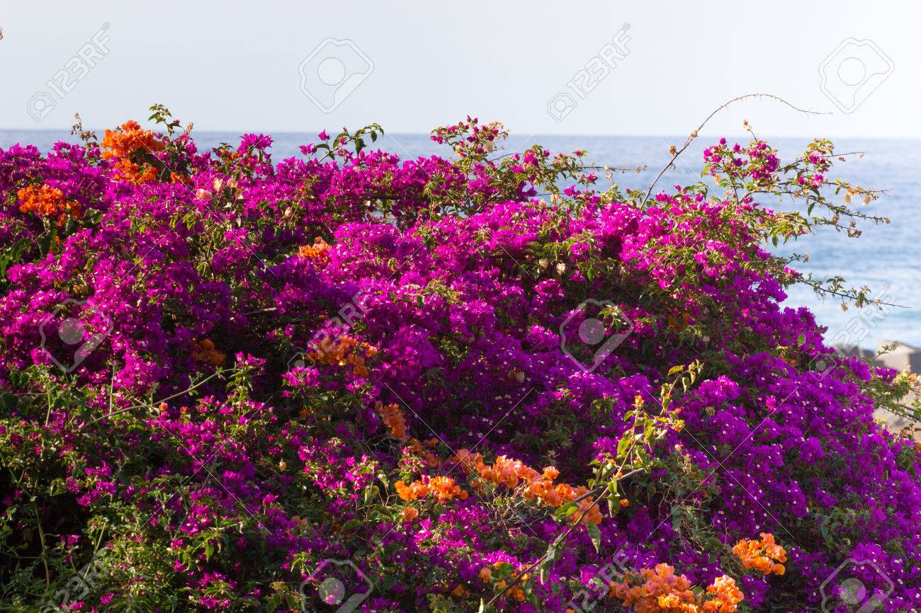Bright colors bougainvillea paper flowers violet colorful bush bright colors bougainvillea paper flowers violet colorful bush abd sea stock photo 62495357 mightylinksfo