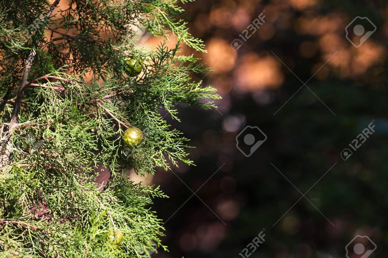 Grüne Kegel Auf Dem Zweig Der Mittelmeer-Zypresse. Verschwommene ...